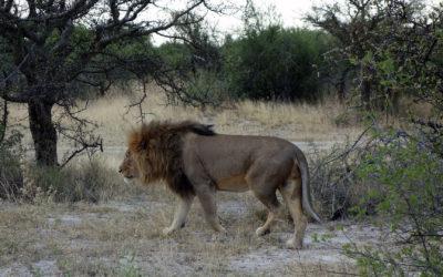Sundowner mit Löwen